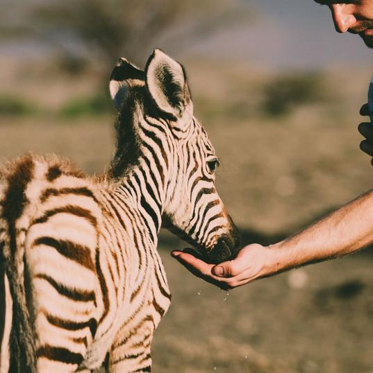 Massai Giraffe Zebra Tanzania Lake Natron