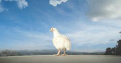 uma-galinha-toma-consciencia-da-engrenagem-que-comanda-a-sua-vida-e-a-de-outras-milhoes-de-aves-no-g
