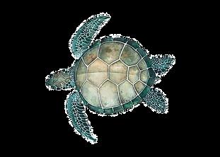 turtle_edited_edited.png