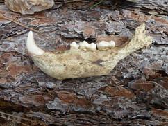 Found this jaw bone on the mountain.jpg