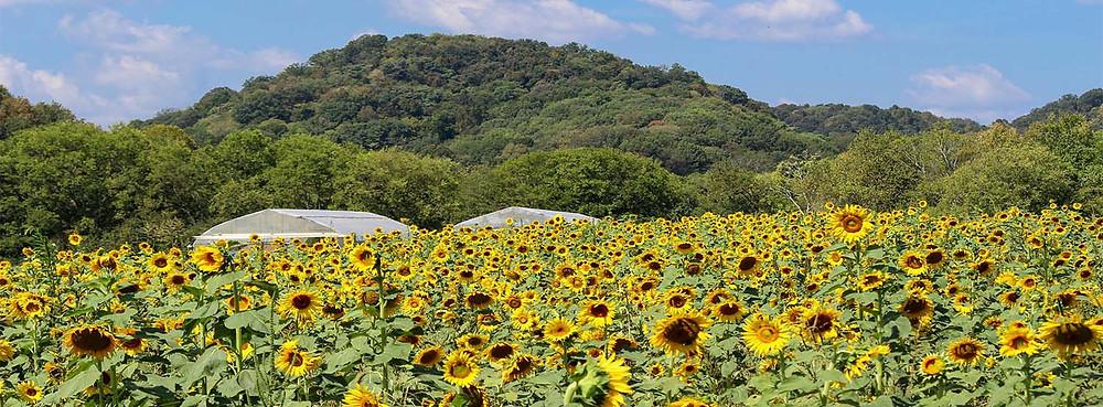 Green Door Gourmet Sunflowers