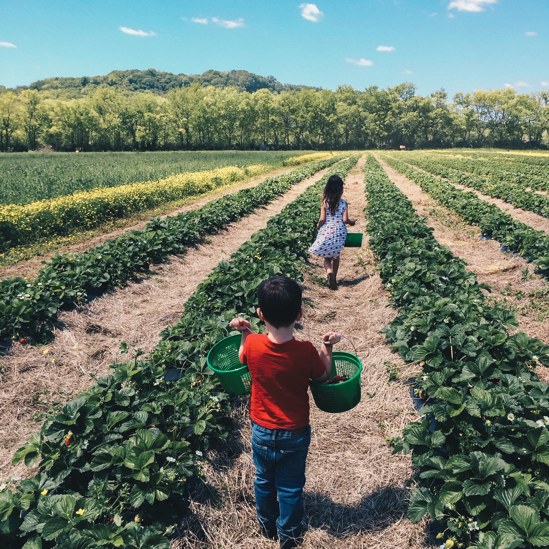 Strawberry Picking Kids