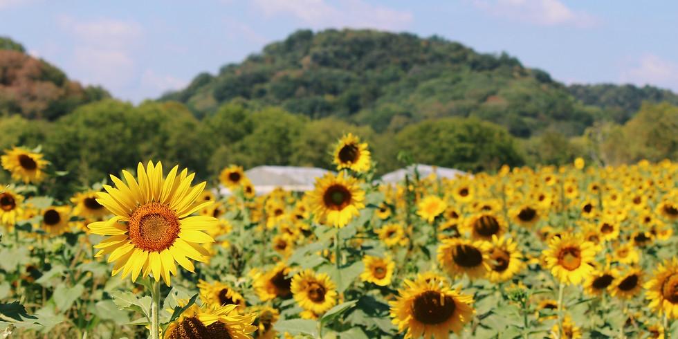End of Summer Sunflower Walk