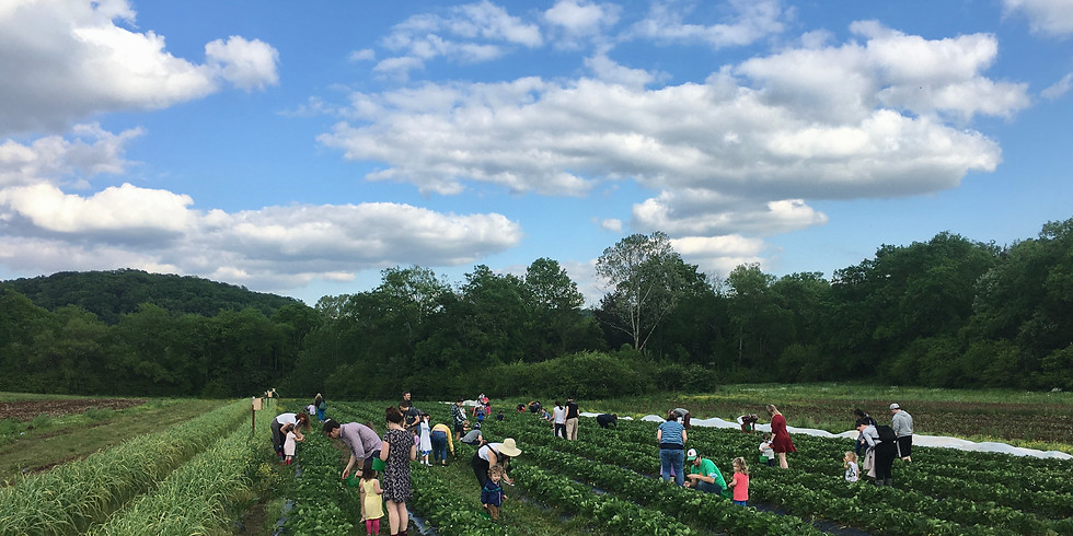 Friday Strawberry Pop Up Picking Hour!