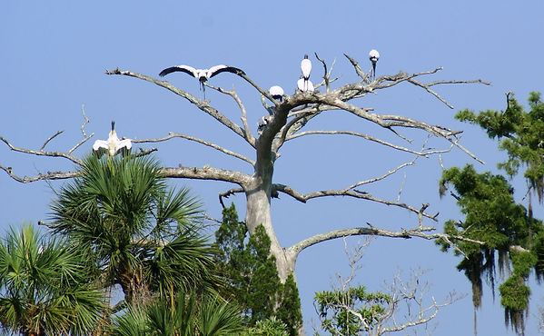 Wood storks along Aucilla River