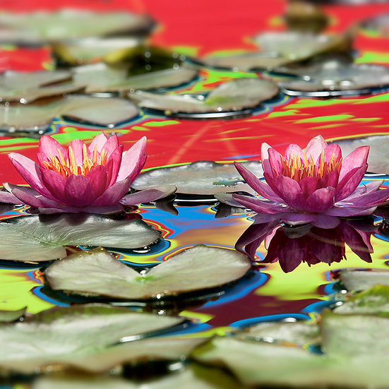 Water Lily 21