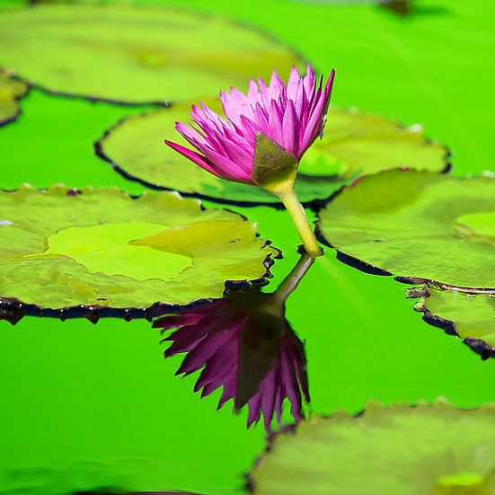 Water Lily 22