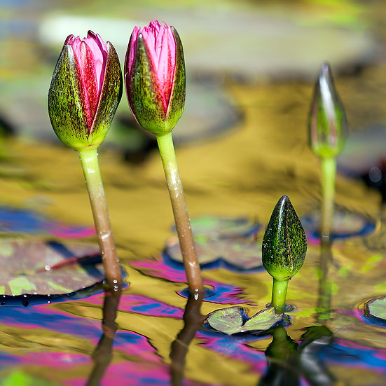 Water Lily 20