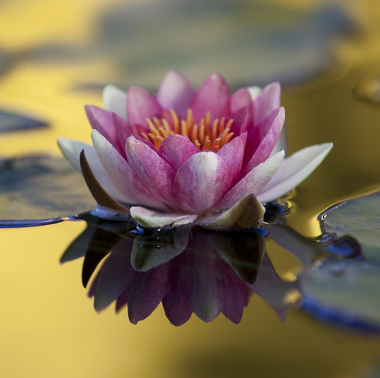 Water  Lily 17
