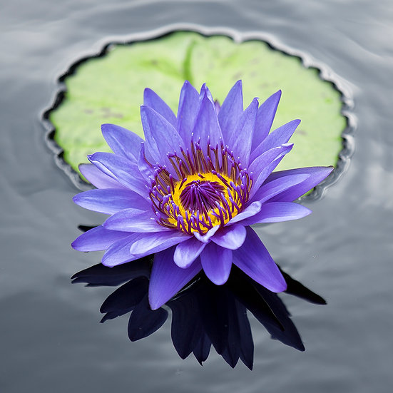 Water Lily 19