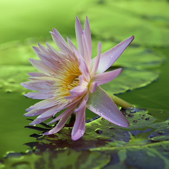 Water  Lily 15