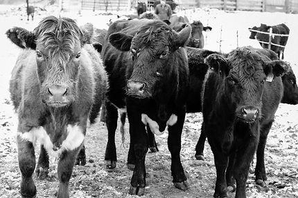 cattle in lane b&w