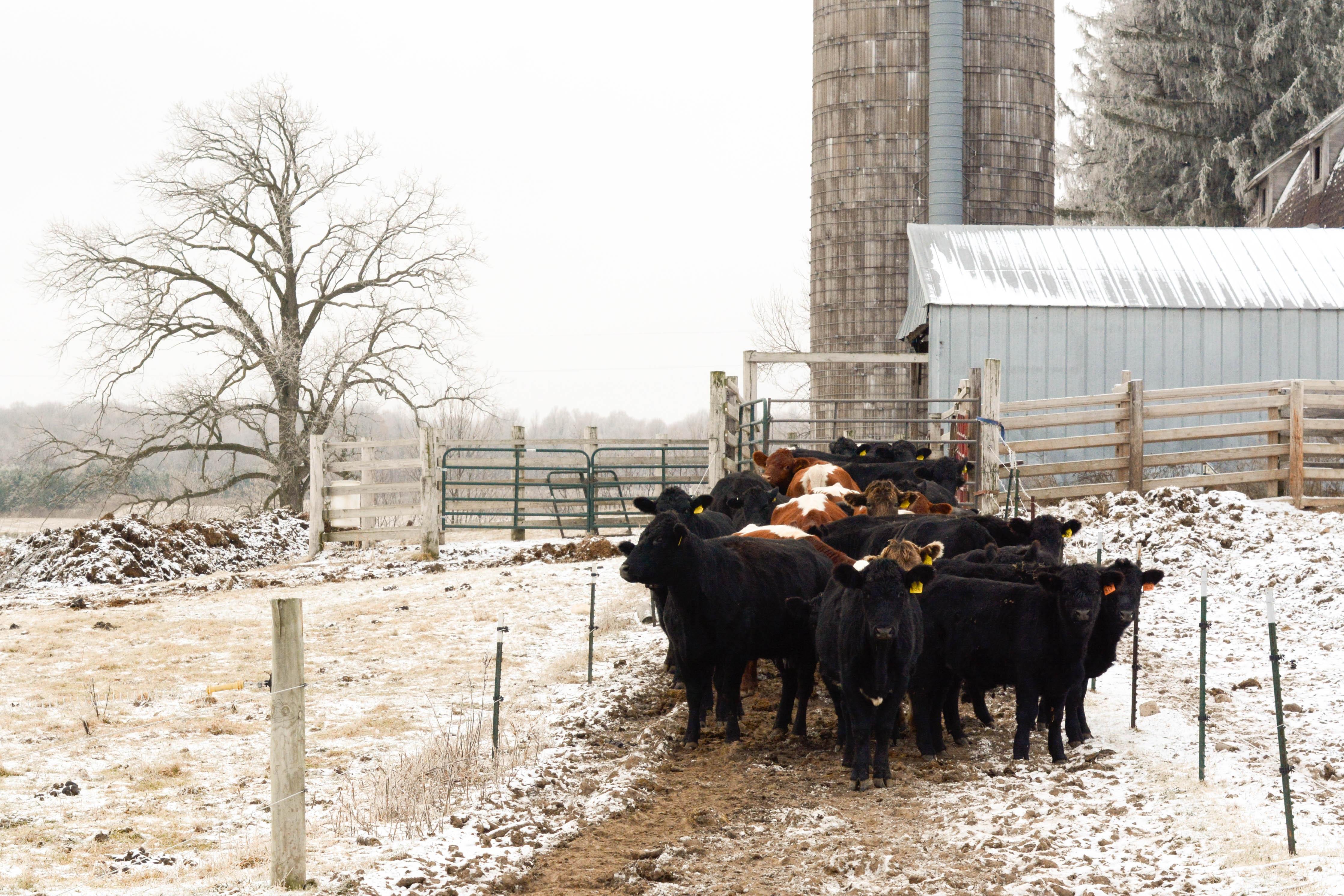 Cattle in lane