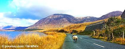 KR_Irland_Schaf_S.jpg