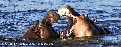 hippos_botswana_S.jpg