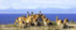 lamas-patagonien_S.jpg