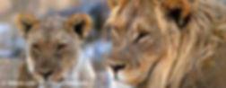 gayurlaub_namibia_loewen_S.jpg