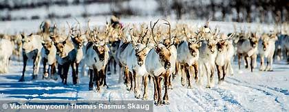 renntiere_norwegen_S.jpg