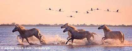 pferde-camargue-S.jpg