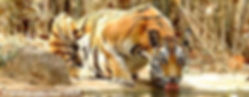 KR_tiger_nepal_S.jpg