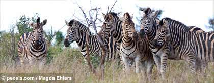 zebras_S.jpg