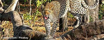 leopard_pexels_S.jpg
