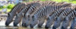 zebras2_S.jpg