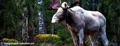 KR_elch_schweden_S.jpg