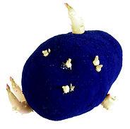 patate bleue 1.jpg
