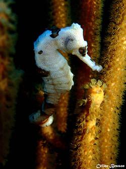 white Sea horse