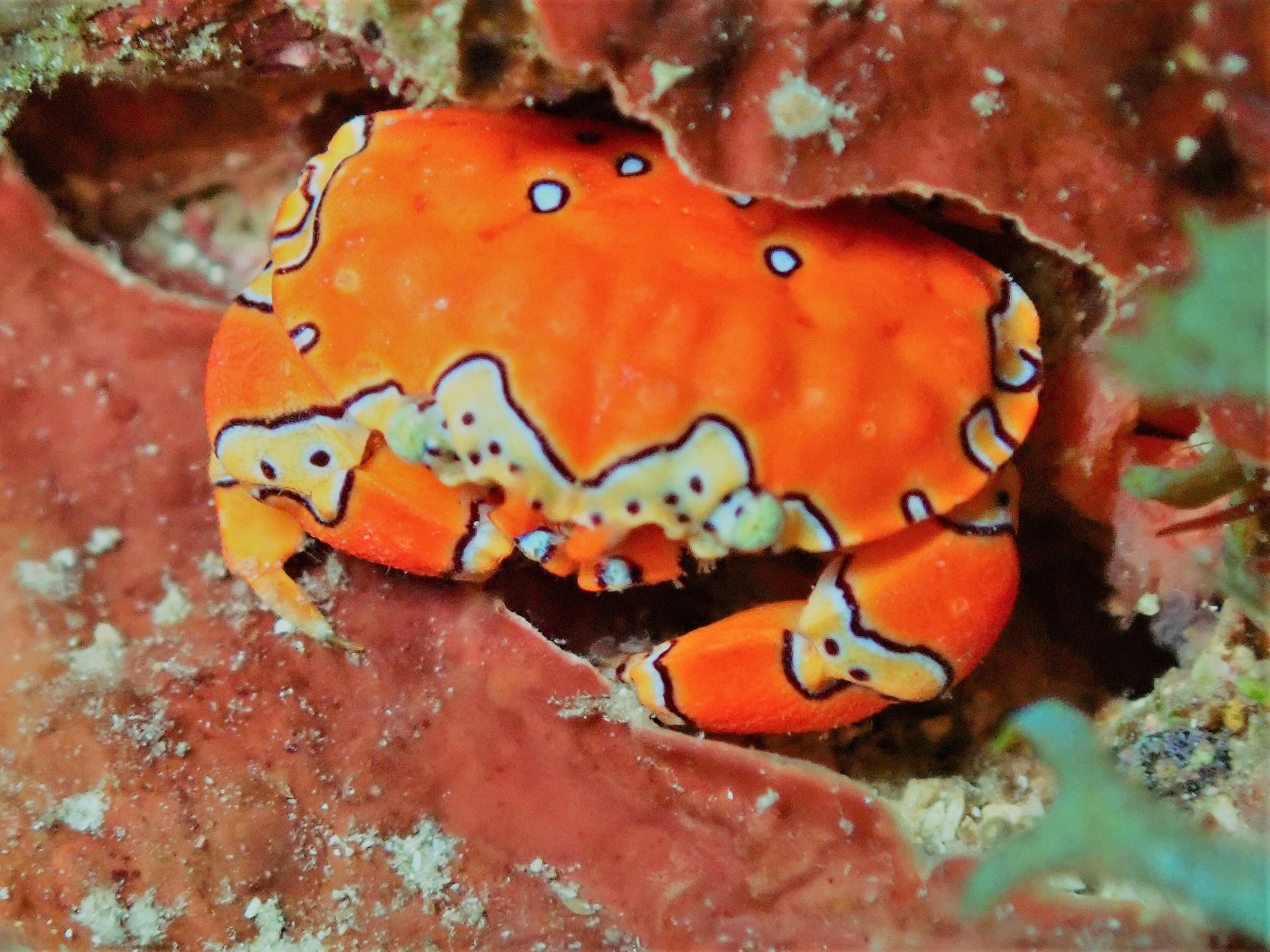 gowdy clown crab 1.JPG