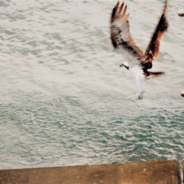 Osprey fishing.JPG