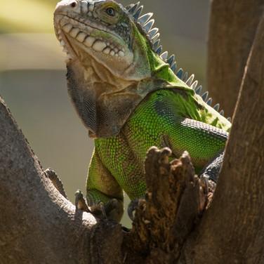 Statia iguana.jpg