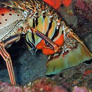 Lobster Eggs.JPG