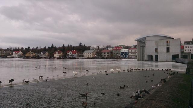 Birds in the lake in the centre of Reykjavik