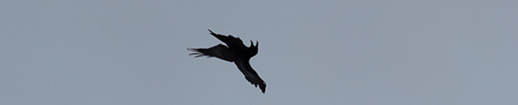 Raven tumbling in mid air