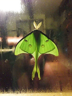 Green Moon Moth