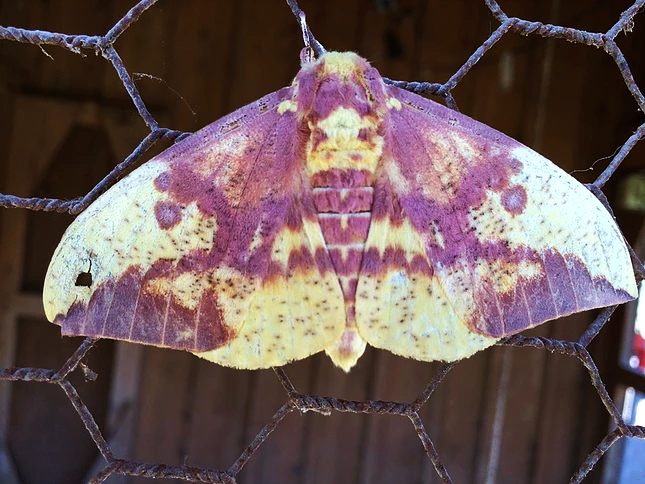 Purple Moon Moth