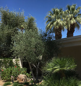 Olive tree, hibiscus bushes, palm tree in the church landscape