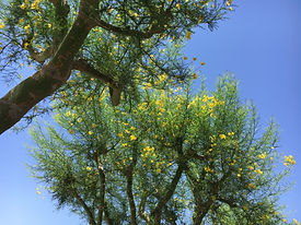 Palo Verde trees in blossom against an azure sky