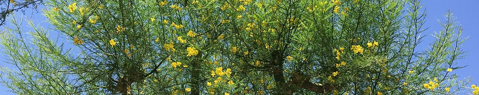 Blossoming palo verde tree against the sky