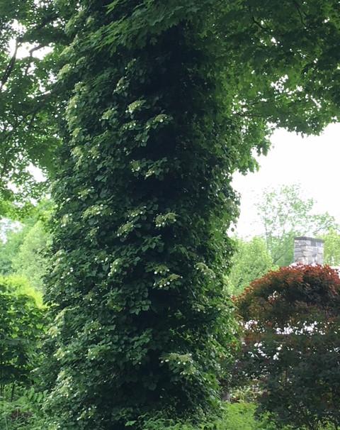 Hydranga grows up the trees