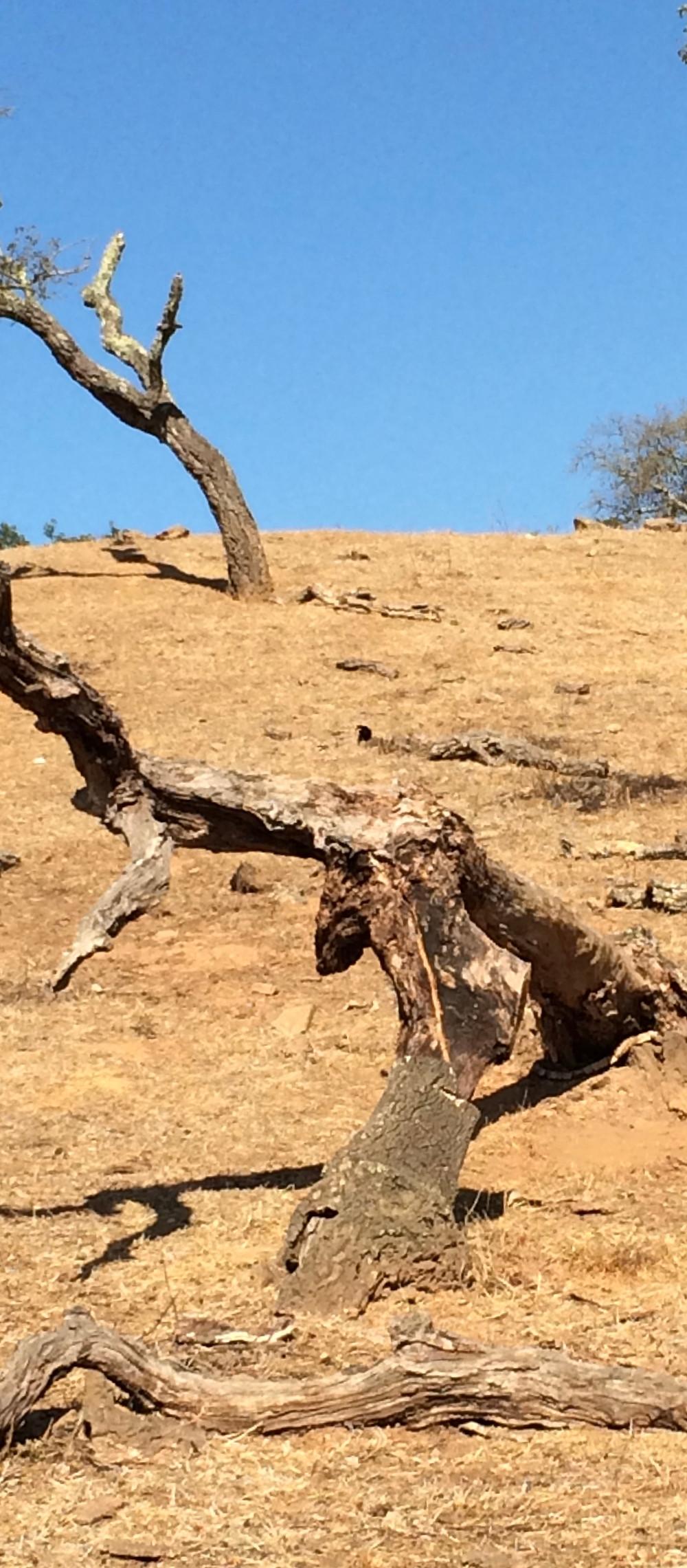 Abgestorbene Korkeiche in Portugal. Überweidung, falsches Wassermangement und das ständige pflügen haben diesen Boden verwüsten lassen. Hier fliesst das Wasser oberirdisch ab und der blanke Boden trägt zur Erwärmung der Umgebung bei.