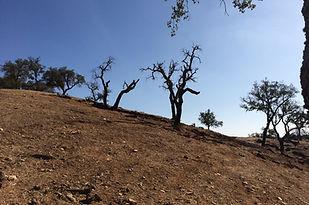 Absterbender Olivenhain in Portugal. Überweidung. Verdichteter Boden.