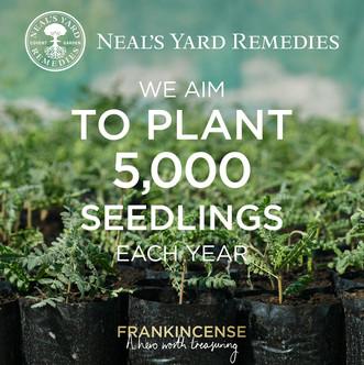 Francincense 5000 seedlings.jpg