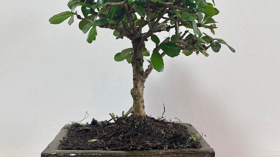 Carmona retusa bonsai
