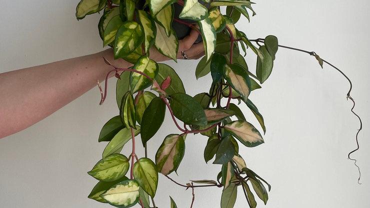Hoya carnosa Rubra 'Krimson Princess'