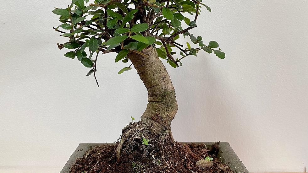 Zelkova serrata bonsai