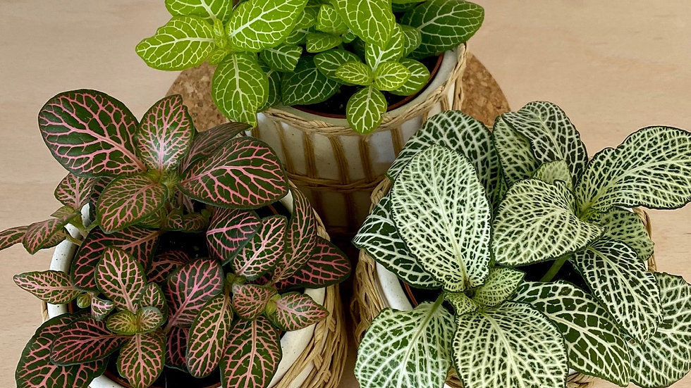 Fittonia - mix of 3