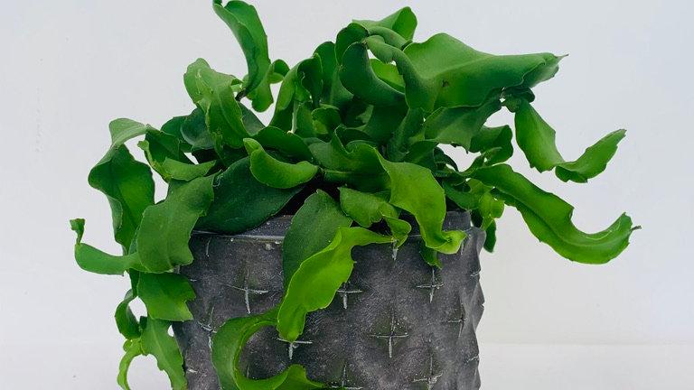 Epiphyllum guatemalense monstrose